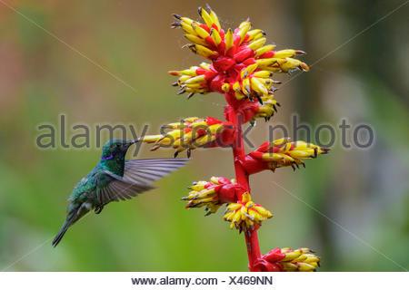 Vini spumanti viola-orecchio (Colibri coruscans) battenti e alimentando ad un fiore in Amazzonia in Perù. Foto Stock