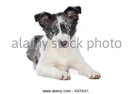 Blue merle Border Collie cucciolo Foto Stock