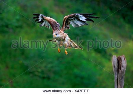 Aquilone rosso, Germania, Europa / (Milvus milvus)