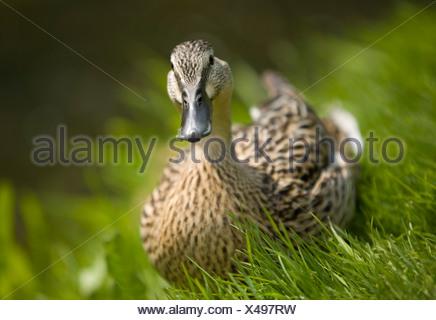 Femmina Mallard duck a Bawburgh fiume in primavera. Foto Stock