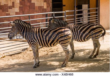 Chapman's zebre (Equus quagga chapmani) in uno zoo, allo Zoo di Barcellona, Barcellona, in Catalogna, Spagna