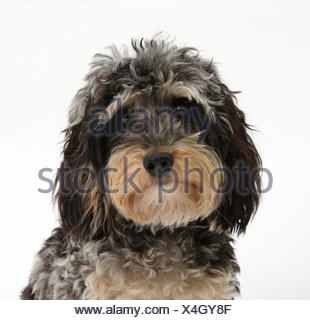 Tricolore merle Bassotto x Poodle 'Daxie doodle' cane Foto Stock