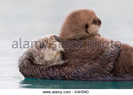 Femmina Lontra di mare azienda cucciolo neonato al di fuori dell'acqua, Prince William Sound, centromeridionale Alaska, inverno Foto Stock