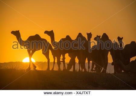Pushkar Mela mercato di cammelli cammelli dromedari Pushkar Rajasthan India Asia India animali mercato Tramonto Tramonto,