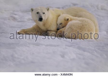Baia di Hudson in Canada orso polare madre e cub in appoggio Ursus maritimus Foto Stock