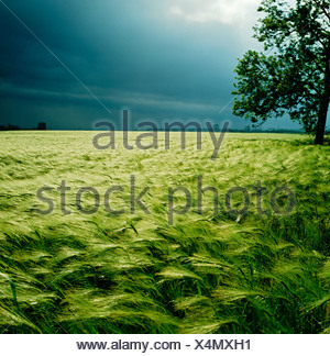 GB WILTSHIRE cielo tempestoso orzo campo SALISBURY Foto Stock
