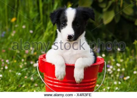 Border Collie, cucciolo seduto in un secchio rosso Foto Stock