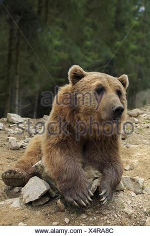 Orso bruno con bocca aperta ritratto Foto Stock