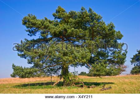 Pino silvestre, pino silvestre (Pinus sylvestris), albero singolo in un prato, Germania Foto Stock