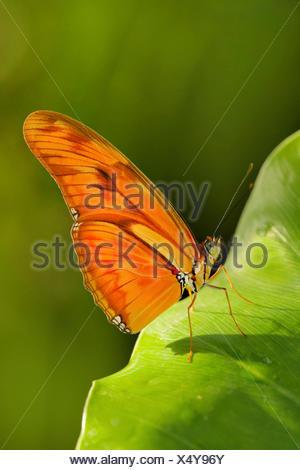 Julia heliconian (Dryas iulia, Dryas julia), su una foglia Foto Stock