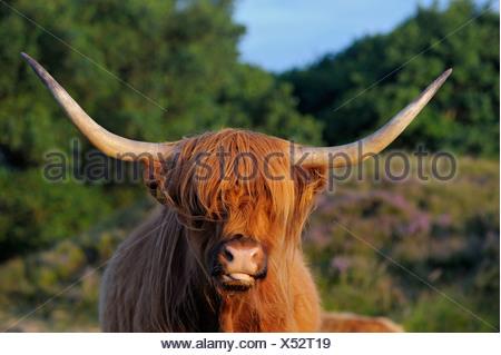 Gli animali domestici della specie bovina (Bos primigenius f. taurus), highland bestiame al pascolo, Paesi Bassi, Paesi Bassi del Nord, Paesi Bassi, Texel Foto Stock