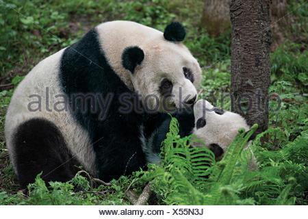Un panda gigante madre gioca con il suo cucciolo dentro il loro recinto a Wolong Riserva Naturale. Foto Stock