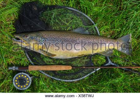 La trota fario trota di fiume, trota di fiume (Salmo trutta fario), catturato dalla pesca a mosca, in Germania, in Baviera Foto Stock