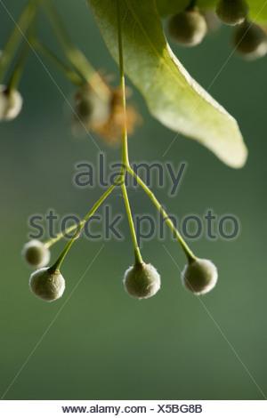 Grandi lasciava in linden, tilia platyphyllos Foto Stock