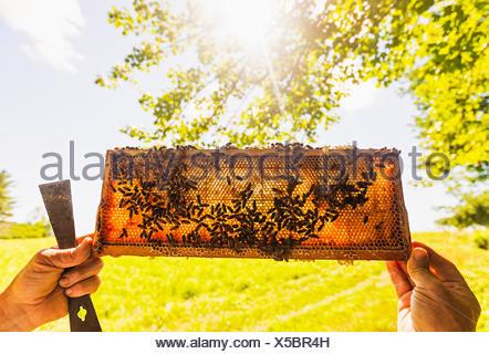 Apicoltore azienda favo di miele Foto Stock