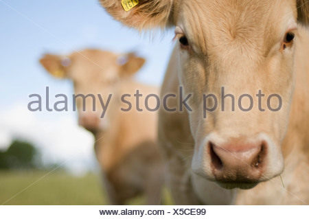 Mucca Foto Stock
