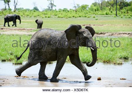 I giovani dell' elefante africano (Loxodonta africana) Camminare vicino a waterhole. Parco Nazionale di Hwange, Zimbabwe. Foto Stock