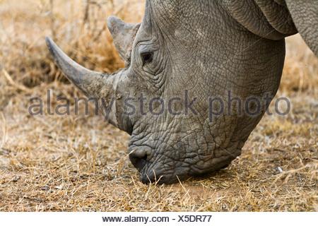 Rinoceronte bianco, quadrato-rhinoceros a labbro, erba rinoceronte (Ceratotherium simum), il pascolo, Sud Africa, Krueger National Park Foto Stock