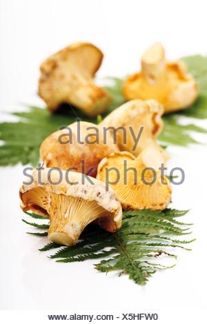 Materie i finferli su foglie di felce Foto Stock