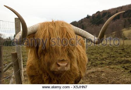 Vacca peloso Foto Stock