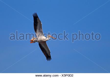 Americano bianco pellicano (Pelecanus erythrorhynchos), flying , STATI UNITI, Florida, Sanibel Island Foto Stock