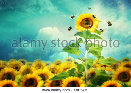 Concetto di immagine di un girasole alto standing e attirare un numero maggiore di api Foto Stock