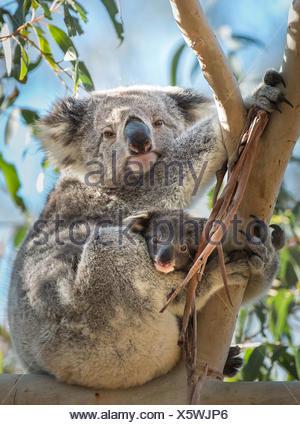 Un koala con Joey, Phascolarctos cinereus, seduti in un albero di eucalipto. Foto Stock