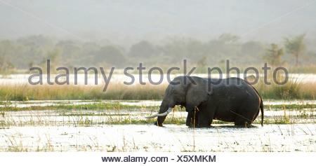 Bush africano Elefante africano (Loxodonta africana) passeggiate in acqua Parco Nazionale di Mana Pools, Zimbabwe Foto Stock