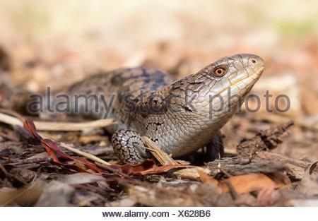 Australia, spotted blu-linguetta lizard strisciando sul terreno Foto Stock