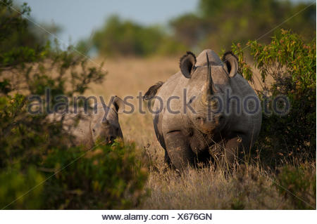 Il rinoceronte nero con il bambino, Ol Pejeta Conservancy; Kenya Foto Stock