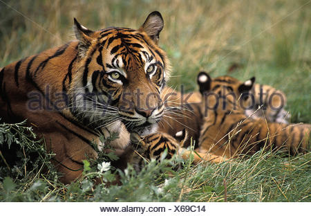 La tigre di Sumatra, panthera tigris sumatrae, Madre e Cub Foto Stock