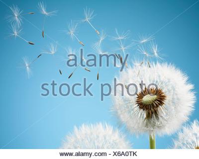 Close up di tarassaco spore di soffiatura Foto Stock