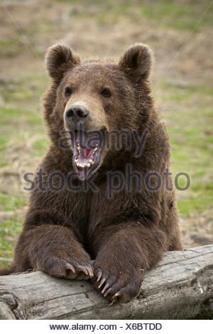 CAPTIVE: maschio marrone Kodiak Bear Cub in appoggio su un log con la bocca spalancata, Alaska Wildlife Conservation Centre Foto Stock