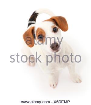 Jack Russell Terrier cucciolo seduto e guardando verso l'alto. Foto Stock