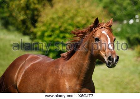 Arabian Horse ritratto Foto Stock