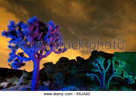 Luci colorate su alberi di Joshua di notte, Joshua Tree National Park, California, Stati Uniti d'America Foto Stock