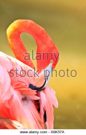 Caraibi Flamingo (Phoenicopterus Rube) allo Zoo di San Diego San Diego in California negli Stati Uniti d'Americ Foto Stock
