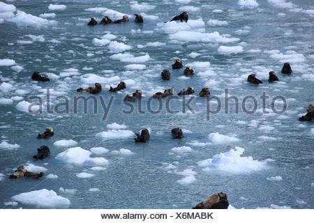 Sea Otter (Enhydra lutris), in Prince William Sound, USA, Alaska Foto Stock