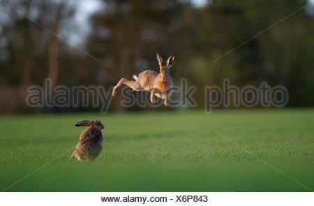 Brown lepre Lepus europaeus boxe nella primavera del Norfolk Foto Stock