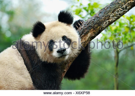 Panda gigante (Ailuropoda melanoleuca) appollaiato su un albero, captive, Chengdu Research Base del Panda Gigante di allevamento o di Chengdu Panda Foto Stock
