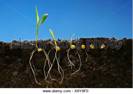 Mais granella di crescita precoce delle fasi di sviluppo che mostra i sistemi di radice; da sinistra a destra: sei fasi dalla fase di sementi a due-stadio di foglia. Foto Stock