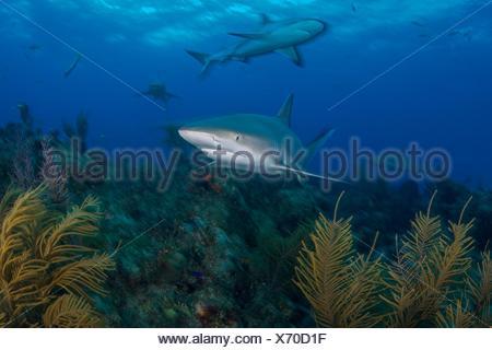 Vista subacquea di grigio gli squali ricerca impianto coperto fondale, settentrionale Bahamas banche, Bahamas Foto Stock