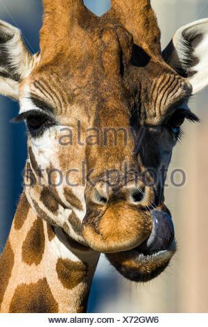 Una giraffa con la sua lunga lingua a leccare e pulire la sua narice. Foto Stock