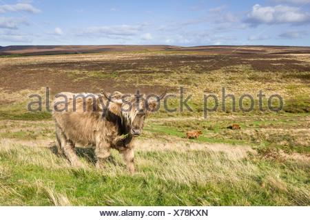 Scottish Highland mucca, North York Moors, Levisham, nello Yorkshire, Regno Unito. Foto Stock