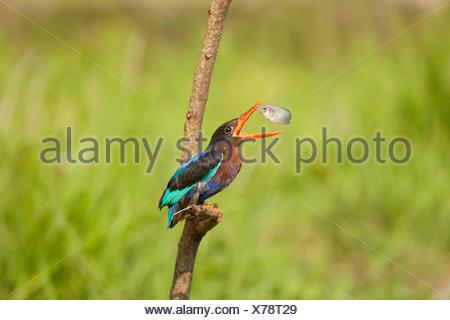 Kingfisher bird pescare un pesce Foto Stock
