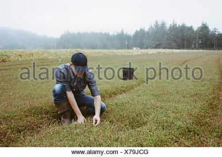 Una fattoria di mirtillo palustre in Massachusetts raccolti nei campi un giovane uomo che lavora sulla terra il raccolto del prodotto Foto Stock