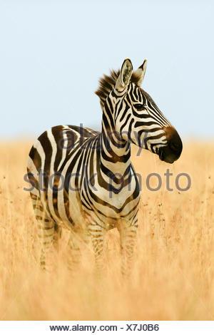Le pianure zebra (Equus quagga) in erba alta, la luce del mattino, il Masai Mara, Narok County, Kenya Foto Stock