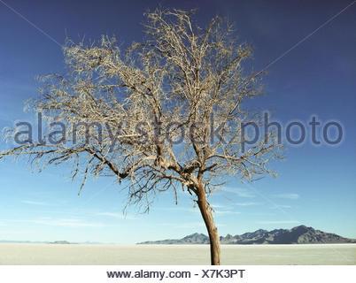 Stati Uniti d'America, Utah, Tooele, fantastica Salt Lake Desert, Bonneville Saline del parco statale, albero nel deserto Foto Stock