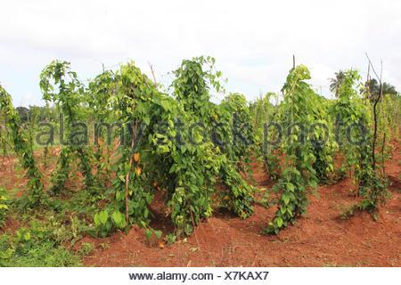 ... La Patata Dolce (Ipomoea Batatas), La Coltivazione Della Patata Dolce,  Tanzania,