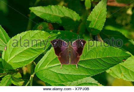 Nymphalidae (Nymphidae) farfalle tropicali (Memphis Acidalia), Iguazú National Park, Paraná, Brasile Foto Stock